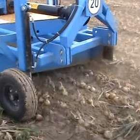 Ścinacz szczypioru Krukowiak w pracy na polu