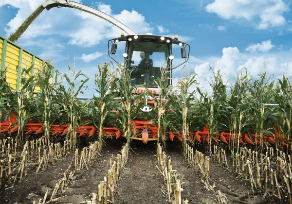 Ścinanie kukurydzy przez przystawkę Kemper maszyne z oferty firmy korbanek pracującą z sieczkarnią marki Claas