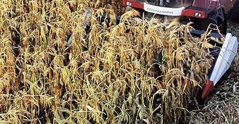 adapter do zbioru kukurydzy Rostselmash różne szerokości
